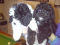 lovely litter of cavapoos only have 1 little boy left